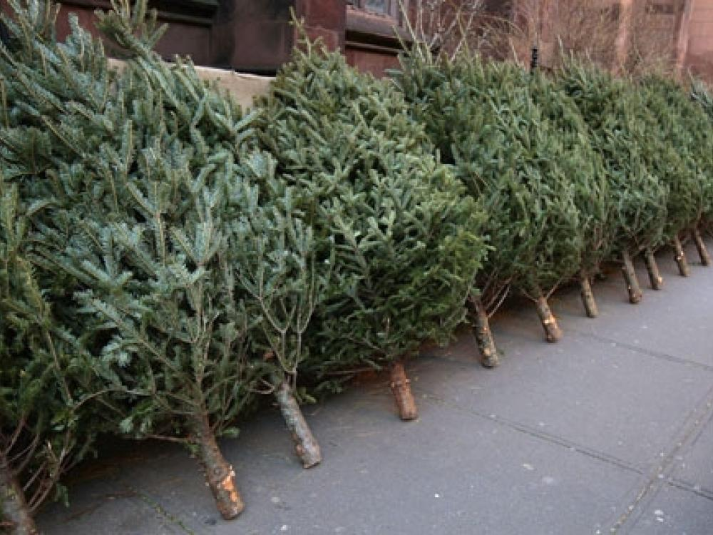 Annual Christmas Tree Collection News