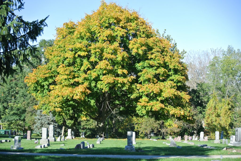 Large tree in the background, tombstones in a cemetery.