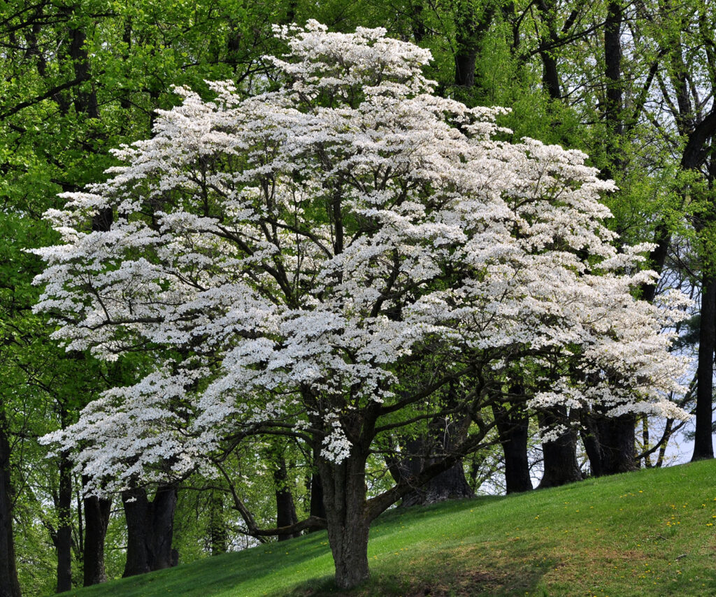 A blossoming tree, shite dogwood.
